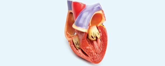 Inheritance patterns and basics of Hypertrophic Cardiomyopathy